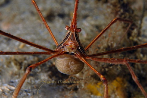 Arrow Crab with Eggs by Suzan Meldonian 